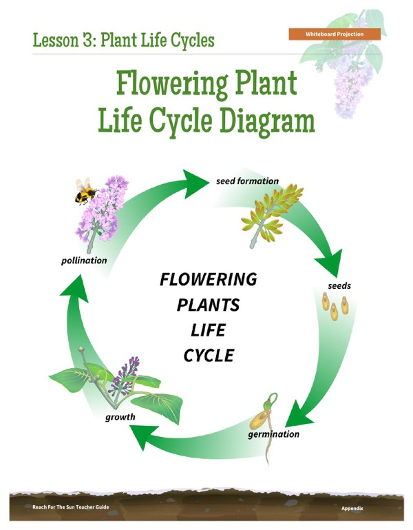 Download Flowering Plant Life Cycle Diagram For Free